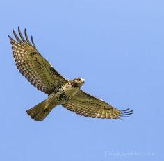 Largest Bird Of Prey, Fish Hatchery, Birds Of Prey, Raptors, Wings, Nature, Animals, Art, Art Background