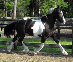 appaloosa fresian cross horse - Bing Images