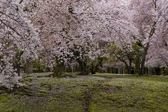 奈良公園 桜 桜の森 2015年