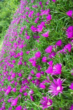 Ultimissime dall'orto: muro fiorito con Delosperma cooperi