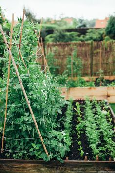 Pea tepee. Raised bed gardening.