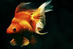 a Goldfish by Suzuki Takamasa, via 500px