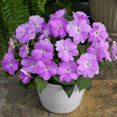 Sunpatiens Impatiens growing tips from P. Allen Smith!