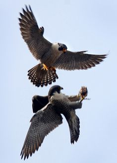 Peregrine falcon Midair food transfer from a male to his mate