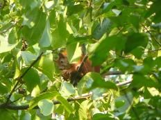 Wiewióra na orzechu