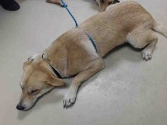 03/24/17-HOUSTON-EXTREMELY URGENT - PYRO - ID#A480141 My name is PYRO I am a male, gold Siberian Husky mix. The shelter staff think I am about 1 year old. I have been at the shelter since Mar 24, 2017. This information was refreshed 43 minutes ago and may not represent all of the animals at the Harris County Public Health and Environmental Services.