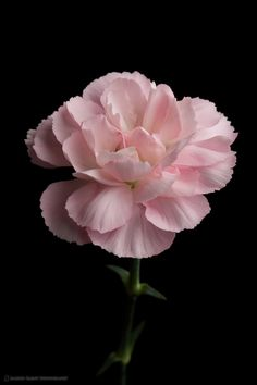 I want to get tattoos of the birth flowers of my parents and their parents. This is a carnation for my grandmother, Dot. January Birth Flowers, January Flower, Birth Month Flowers, Amazing Flowers, Pink Flowers, Beautiful Flowers, Carnation Tattoo, Pink Carnations, Flowers Nature