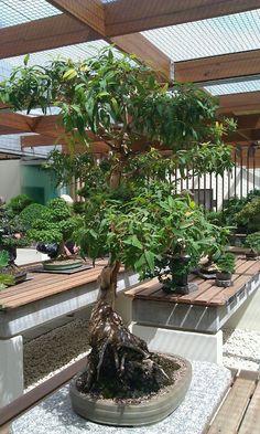 Australian gum tree bonsai...Canberra Aboretum