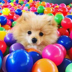 http://ift.tt/2vetS2U Kong Da Savage Pom Logan Paul's Dog!