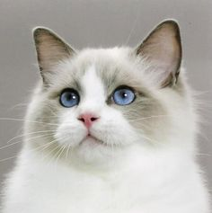 Rachel was a snowshoe Ragdoll with the most congenial personality. This cat has the same markings.
