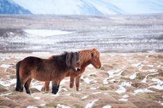 Hinrich Carstensen Photography » Iceland Road Trip - Icelandic horses