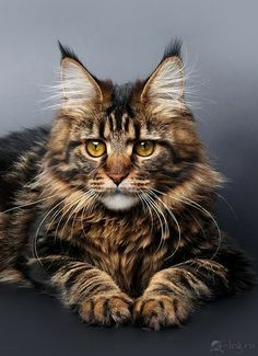maine-coon❤️❤️❤️