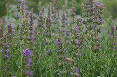 Fleurs d'hysope, plante médicinale pour guérir rhumes et grippes - Hyssopus officinalis