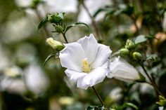 These shrubs with white flowers will be perfect for a white garden. These shrubs wit Plants Under Trees, Small Trees, Mock Orange Bush, Rose Of Sharon Bush, Rose Bush, White Flowers, Beautiful Flowers, Front Yard Landscaping, Landscaping Ideas