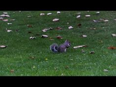 Walking back to my car from town through the local park the other day, I saw more squirrels running around there than you'd see being served up at a redneck . Local Parks, Squirrels, The Locals, October, Animals, Chipmunks, Animales, Animaux, Squirrel