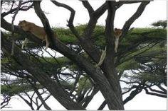Tree dwelling lions in Uganda