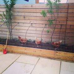Chicken Tunnel ( Chunnel) for urban farmers. Ha!! Do you know how much dirt those chickens will kick out?? :)