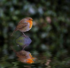 Island Robin -