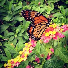 Monarch Butterfly on a path of Lantanas | by Flickr user AsiVivo