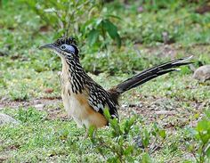 """Lesser Roadrunner (Geococcyx velox) in Honduras (Carlos Sanchez). A couple of us were invited to """"the Lodge at Pico Bonito"""" last September and our expectations of Honduras were exceeded - we found an amazing suite of specials including several endemic to northern Central America"""