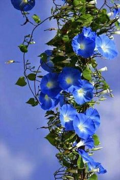Beautiful blue flowers on the vine