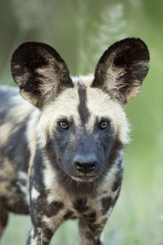 African Wild or Painted dog. Kruger National Park, South Africa. The African Wild Dog is Endangered and most remaining populations of this beautiful canine species can be found in southern Africa.