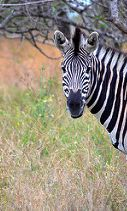 "Royal Malewane: A Celebrity Favorite Luxury Safari - Potential guests often wonder bout the wildlife and what animals they are likely to see. Namely, they could see the ""Big Five"", which are African lions, elephants, cape buffaloes, African leopards, and rhinoceroses. The hotel cannot guarantee which animals you see, but their expert guides are pretty much the best in the biz. In addition to the Big Five, you may also see plenty of giraffes, wildebeests, impalas, and zebras."