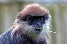 The purple-faced langur (Trachypithecus vetulus), also known as the purple-faced leaf monkey, is a species of Old World monkey that is endemic to Sri Lanka. There are four distinct subspecies, (or sometimes of purple-faced langur. Primates, Weird Facts, Northern Ireland, Sri Lanka, Old World, Westerns, Cool Photos, National Parks, Wildlife
