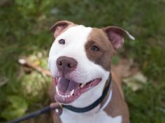 PRINCESS - ID#A0887846  I am a spayed female, white and brown Pit Bull Terrier mix.  The shelter staff think I am about 3 years old.  I weigh 43 pounds.  ...