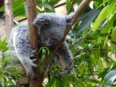 #animal #animals #cute animals #koala #koala bear #tree #zoo