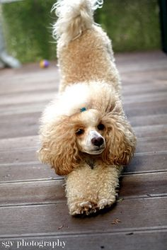 adorable apricot and white poodle stretching ___ Thank You to Visit our Website..:-)