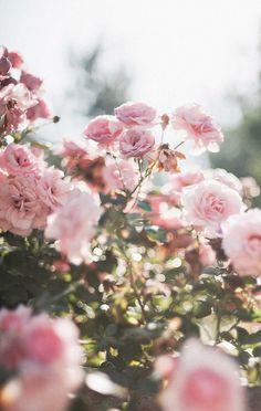 Imagem de flowers, rose, and pink