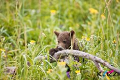 """Bear comes from Old English bera and belongs to a family of names for the bear in Germanic languages, in origin from an adjective meaning """"brown"""" Visit kozzi.com and download the high resolution of this picture."""