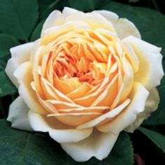 'Jude the Obscure' vies with Golden Celebration for the first place as the most magnificent of the English Roses. Its flowers are very large and of incurved chalice shape. Their color is a pleasing medium yellow on the inside of the petals and a paler yellow on the outside.