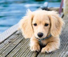 Longhaired Cream Dachshund. What a cutie!