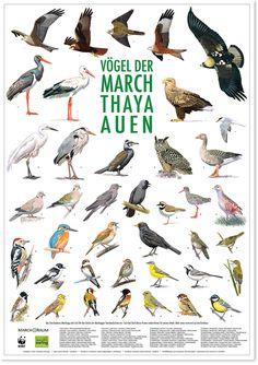 Vögel der March Thaya Auen / Birds of the Morava Thaya wetlands