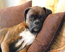 just resting... Boxer style