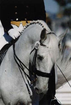 Favory IV Delta ~ Lipizzaner stallion owned by Four Pillars Farm.  Very Nice!