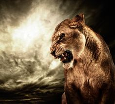 Roaring lioness against stormy sky - Wall Mural Lion And Lioness, Lion Of Judah, Lioness Images, Animals And Pets, Cute Animals, Lioness Tattoo, Lions Photos, Lion Wallpaper, Lion Pictures