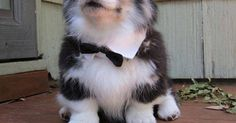 Just Pinned to Woof: Pudge looking very dapper. http://ift.tt/2pp9GF2