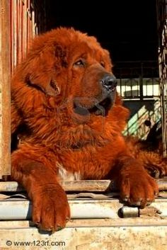 Tibetan Mastiff-- we already have two mastiffs why not this one too? Big Dogs, Large Dogs, I Love Dogs, Cute Dogs, Dogs And Puppies, Doggies, Small Dogs, Akita, Red Tibetan Mastiff