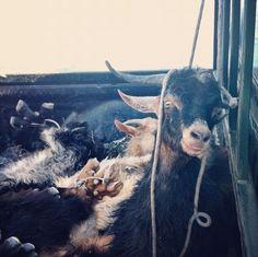 Goats in a van in Masouri, Kalymnos, Greece