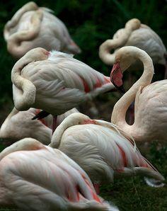 Flamingo by jasohill, via Flickr
