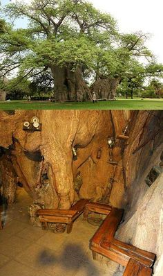 This bar in the trunk of a Baobab has people travelling from miles around for a brew. It has been created in a huge high tree in this garden in Limpopo, South Africa, to keep thirsty locals happy. But tourists flock to see the amazing bar inside the Le Baobab, Baobab Tree, Out Of Africa, Africa Travel, Tree Of Life, Photos, Pictures, Mother Nature, South Africa
