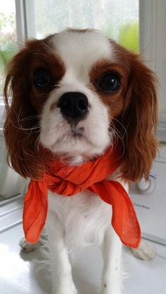 ''Do you like my scarf? It goes with my ears' - Adorable Cavalier King Charles Spaniel Puppy