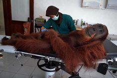 PsBattle: Orangutan check up - Imgur