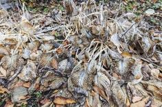 How To Prune Hostas: Tips On Cutting Back Hosta Plants - Pests can attack hostage foliage and make it ragged. And come winter, the foliage of these perennials wilt and die back. These are the times to sanitize your pruners and get to cutting back hosta plants. Click here for information on how to prune hostas.