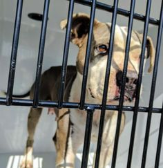 ~~ EU DATE MONDAY MORNING,02/13/17~~ SEE VIDEO!! - HOUSTON-SUPER URGENT - This DOG - ID#A477206 I am a female, gray and white Pit Bull Terrier. The shelter staff think I am about 3 years old. I have been at the shelter since Feb 07, 2017. Harris County Public Health and Environmental Services. https://www.facebook.com/harriscountyanimalshelterpets/videos/1422667887797005/
