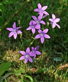 Harakankello, Campanula patula - Kukkakasvit - LuontoPortti My Land, Fungi, The Great Outdoors, Spring Time, Wonders Of The World, Wild Flowers, Natural Beauty, Flora, Scenery
