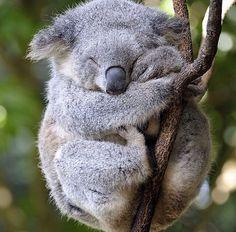 b04bfb299 Koala Sleepy Animals, Animals And Pets, Baby Animals, Cute Animals, Funny  Animals
